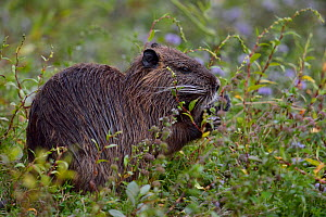 Coypu / River Rat (Myocastor coypus) feeding on flowers. Gironde , west France, September. - Loic Poidevin