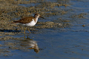 Common Sandpiper (Actitis hypoleucos) foraging by water. Breton marsh, west France, September.  -  Loic Poidevin