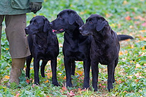 Black Labradors waiting to retrieve during pheasant shooting, Essex, November - Ernie Janes