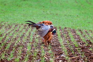 Cocker Spaniel retrieving cock pheasants (Phasianus colchicus) during pheasant shooting, in drilled barley field, Essex, November  -  Ernie Janes