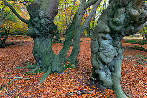 Epping Forest with ancient pollarded beech (Fagus sylvatica) Essex, November  -  Ernie Janes