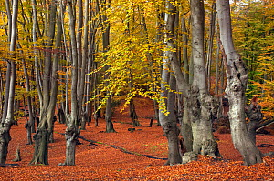Epping Forest with ancient pollarded beech trees (Fagus sylvatica) Essex, November  -  Ernie Janes