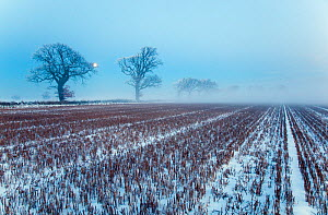 RF- Snow covered stubble  fields  with oak trees and rising moon, Gimingham, Norfolk, UK, December. (This image may be licensed either as rights managed or royalty free.) - Ernie  Janes