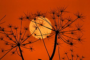 Hedge Parsley seed head (Torilis japonica) silhouetted  at sunset, Norfolk, UK, November  -  Ernie  Janes