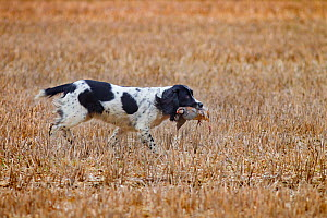 Springer Spaniel  retrieving shot Common Pheasant (Phasianus colchicus) in stubble field, Essex, November  -  Ernie Janes