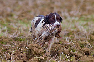 Springer Spaniel retrieving shot common pheasant (Phasianus colchicus) during pheasant shooting in stubble field, Essex, November  -  Ernie Janes