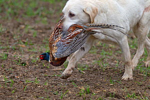 Yellow Labrador retrieving cock pheasant (Phasianus colchicus), during pheasant shoot Essex, November  -  Ernie Janes