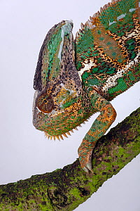 Yemen or Veiled Chameleon (Chamaeleo calyptratus) portrait, captive from the Middle-East - Ernie Janes
