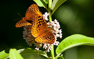 Great spangled fritillary butterfly (Speyeria cybele) two on Common milkweed (Asclepias syriaca), Pennsylvania, USA, June. - Doug Wechsler