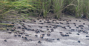 Large group of Red-jointed fiddler crabs (Uca minax) on a mudflat, Stowe Creek, Salem County, New Jersey, USA, August. - Doug Wechsler