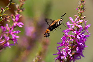 Snowberry clearwing (Hemaris diffinis) feeding at a Purple loosestrife (Lythrum salicaria) flower, Salem County, New Jersey, USA, August.  -  Doug Wechsler