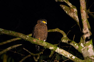 Crested Serpent eagle (Spilornis cheela) roosting at night, Danum Valley Conservation Area, Sabah, Borneo, Malaysia *Digitally removed twig in background  -  Suzi Eszterhas