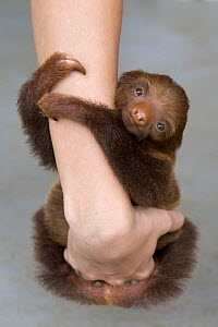 Hoffmann's Two-toed Sloth (Choloepus hoffmanni) orphan baby clinging to person's arms, Aviarios Sloth Sanctuary, Costa Rica - Suzi Eszterhas