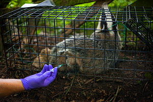 European Badger (Meles meles) trapped in a cage trap is vaccinated by Defra field worker against bovine tuberculosis (bTB) during vaccination trials in Gloucestershire, UK June 2011.  -  Neil Aldridge