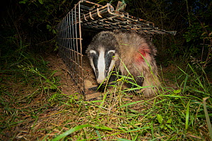 European Badger (Meles meles) emerges from a cage trap following its successful vaccination against bovine tuberculosis (bTB) during vaccination trials. The red dye on its flank denotes that the badge... - Neil Aldridge