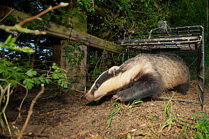 European Badger (Meles meles) is released from a cage trap following its successful vaccination against bovine tuberculosis (bTB) during vaccination trials in Gloucestershire, UK June 2011  -  Neil Aldridge
