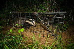 A European Badger (Meles meles) caught in a cage trap awaiting vaccination as part of bovine tuberculosis (bTB) vaccination trials on farmland in Gloucestershire, UK June 2011.  -  Neil Aldridge
