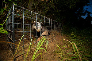 A European Badger (Meles meles) caught in a cage trap awaiting vaccination as part of bovine tuberculosis (bTB) vaccination trials on farmland in Gloucestershire, UK. June 2011.  -  Neil Aldridge