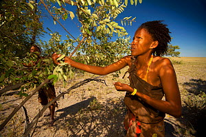 A young Zu/'hoasi Bushman woman picking berries from a bush on the open plains of the Kalahari, Botswana. April 2012. No release available. - Neil Aldridge