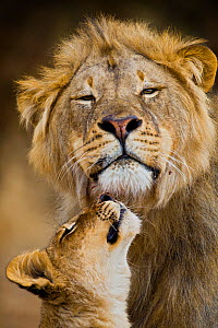 African Lion (Panthera leo) cub reaches for a moment of intimacy with its father, Northern Tuli Game Reserve, Botswana - Neil Aldridge