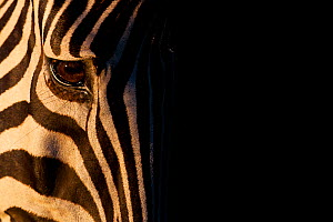 Common Zebra (Equus quagga) head detail portrait, Kruger National Park, South Africa  -  Neil Aldridge