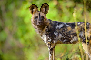 African wild dog (Lycaon pictus) on the banks of the Limpopo River, Northern Tuli Game Reserve, Botswana - Neil Aldridge