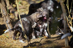 African wild dog (Lycaon pictus) one month old pups play at a den site on the banks of the Limpopo River, Northern Tuli Game Reserve, Botswana - Neil Aldridge
