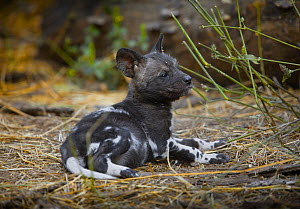 African wild dog (Lycaon pictus) one month old pup resting at a den site on the banks of the Limpopo River, Northern Tuli Game Reserve, Botswana - Neil Aldridge