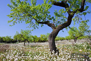 Almond tree (Prunus dulcis / Amygdalus communis) in spring surrounded by flowers, Serra Llarga, Lleida Province, Spain, April  -  Juan Manuel Borrero
