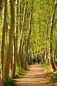 London Plane trees (Platanus acerifolia) lining road with people walking a dog in the distance, Gallecs, Barcelona Province, Spain, April - Juan Manuel Borrero
