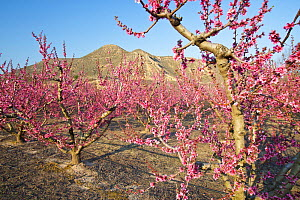 Cherry  trees flowering in orchard, Montllober Area, Lleida Province, Spain, March - Juan Manuel Borrero
