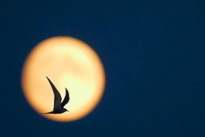 Arctic Tern (Sterna paradisaea) in flight, silhouetted against the moon at dusk, Uto Finland July - Markus Varesvuo