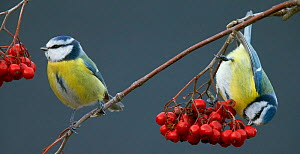 Blue Tits (Paris caereleus) two feeding on red berries, Uto Finland October - Markus Varesvuo