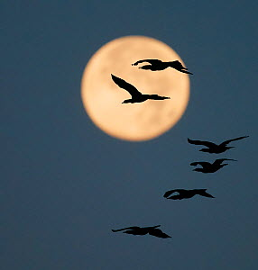 Common cormorants (Phalacrocorax carbo) in flight, silhouetted against moon, Falsterbo Sweden September - Markus Varesvuo