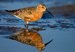 Curlew Sandpiper (Calidris ferruginea) reflected in shallow water, Uto Finland July - Markus Varesvuo