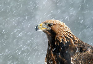 Golden Eagle (Aquila chrysaetos) portrait in snow, Utajarvi, Finland February - Markus Varesvuo