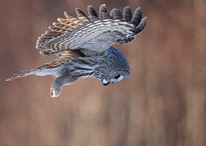 Great Grey Owl (Strix nebulosa) hovering and watching for prey, hunting behaviour, Rovaniemi Finland March  -  Markus Varesvuo