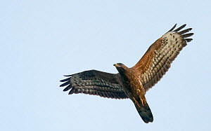 Honey Buzzard (Pernis apivorus) underside view of adult in flight, Uto Finland September - Markus Varesvuo