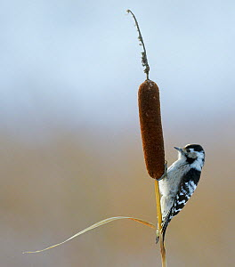 Lesser Spotted Woodpecker (Dendrocopus minor) on bullrush, Uto Finland October  -  Markus Varesvuo