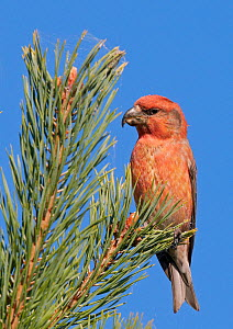 Parrot Crossbill (Loxia pytyopsittacus) male portrait, Uto Finland August - Markus Varesvuo
