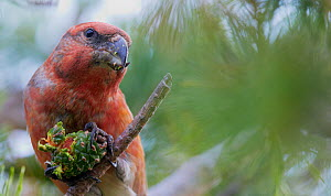 Parrot Crossbill (Loxia pytyopsittacus) male feeding on pinecone, Uto Finland September  -  Markus Varesvuo