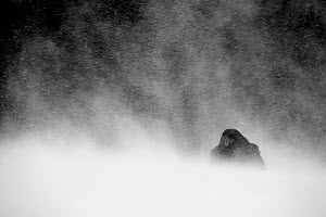 Common Raven (Corvus corax) huddled down amidst snow storm, Utajarvi Finland, February - Markus Varesvuo