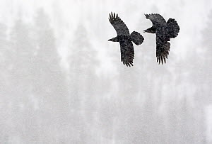 Common Raven (Corvus corax) two in flight during snow storm, Kuusamo, Finland April  -  Markus Varesvuo