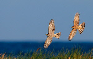 Sparrowhawk (Accipiter nisus) male and female in flight, Falsterbo Sweden September  -  Markus Varesvuo