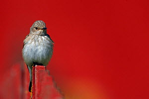 Spotted Flycatcher (Muscicapa striata) perched on fence, Uto Finland May  -  Markus Varesvuo