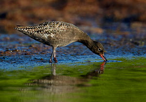Spotted Redshank (Tringa erythropus) foraging in shallow water, Uto Finland June - Markus Varesvuo
