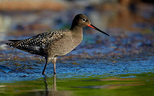 Spotted Redshank (Tringa erythropus) standing in shallow water, Uto Finland June  -  Markus Varesvuo