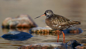 Spotted Redshank (Tringa erythropus) standing in shallow water, Uto Finland August  -  Markus Varesvuo