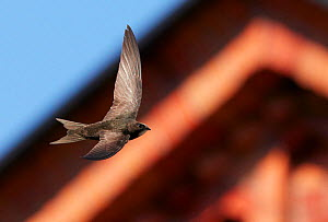 Common Swift (Apus apus) in flight, Helsinki Finland July  -  Markus Varesvuo
