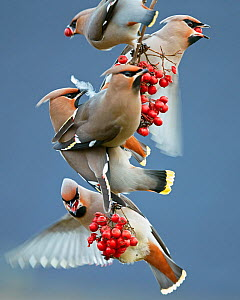 Bohemian waxwings (Bombycilla garrulus) feeding on berries, Uto Finland October - Markus Varesvuo